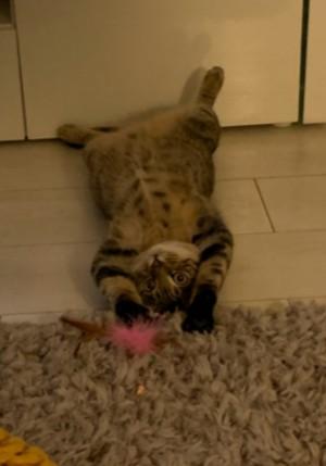 Four Paws Cat Rescue - Reggie